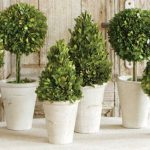 adorable-nice-cool-fantastic-creative-boxwood-topiary-boxwood-topiary-traditional-indoor-pots-and-planters-in-white-concrete-coloring-design