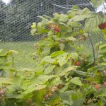 redberry plants with web as the protection