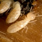termites in furniture picture 2
