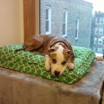dog window perch with green dog bed decorated near glass windows