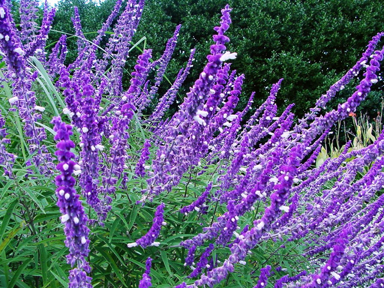 Purple Perennials For Zone 7 Salvia Home Garden Ideas