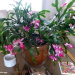 Pretty-cactus-which-blooms-on-thanksgiving-time-and-this-shade-loving-houseplant-has-smooth-and-fleshy-leaves-with-pretty-pink-flowers-in-brown-container-on-the-tabe