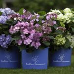 adorable purple pink and yellow endless summer hydrangeas design on triple pots on grassy meadow