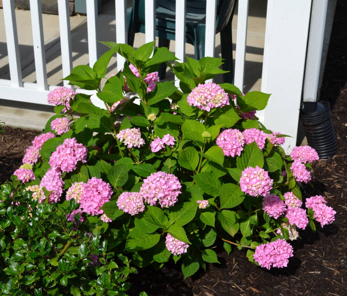 hydrangea endless summer how to sweet your home garden with endless summer 28837