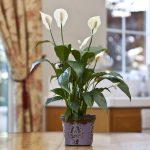 beautiful-nice-and-pretty-Peace-Lily-in-purple-small-container-on-the-wooden-table-popular-choice-for-homes-and-office-only-need-medium-to-low-light
