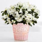 cool-and-elegant-white-azalea-for-indoor-plants-in-sparkling-pink-pot-placed-on-the-white-table