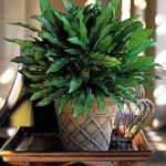 nice-and-pretty-plants-named-Chinese-evergreen-in-nice-container-on-the-wooden-small-table-and-the-most-durable-because-of-its-adaptation-towards-poor-light-dry-air-and- drought