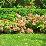 peach color endless summer hydrangeas design on outdor garden design with grassy meadow and shrub