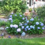 soft blue endless summer hydrangeas design on dry mulch design aside grassy meadow for natural garden