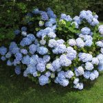 stunning white blue endless summer hydrangeas on grassy meadow for outdoor garden