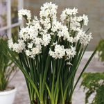 A group of white bulbs at outdoor garden