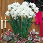Artificial red cherry as decorative Christmas item and paper white bulbs