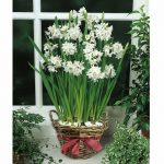 Beautiful white bulbs on rattan basket with red decorative ribbon