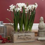 Chic shabby wood plant box with white bulb plants