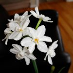 Fresh white bulbs as interior decorative plant