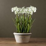 Paper white bulbs with white pot