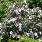 Althea Aphrodite Bloom With Large Flowering Bushes
