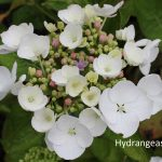 Bloom White Hydrangea Varieties