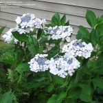 Blue And White Small White Hydrangea Varieties