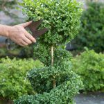 Cutting Way For Real Topiary Trees