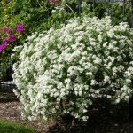 Large Flowering Bushes Of White Euphorbia Leuco Cephala