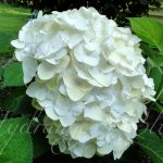 Perfect White Hydrangea Varieties