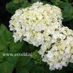 Perfect White Hydrangea Varieties For Garden