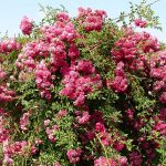 Pink Large Flowering Bushes