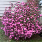 Pretty Pink Large Flowering Bushes