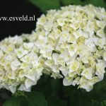 Pretty White Hydrangea Varieties
