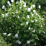 Rose Of Sharondiana With White Large Flowering Bushes