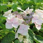 White Wave And Small White Hydrangea Varieties