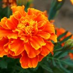 Amazing Orange Flowers That Like Shade
