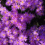 Awesome Aster Flowers That Like Shade