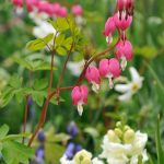 Bleeding Heart Flowers That Like Shade