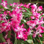Pink White Flowers That Like Shade For Outdoor